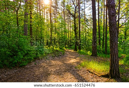 Sunset forest trees sunlight in nature summer landscape