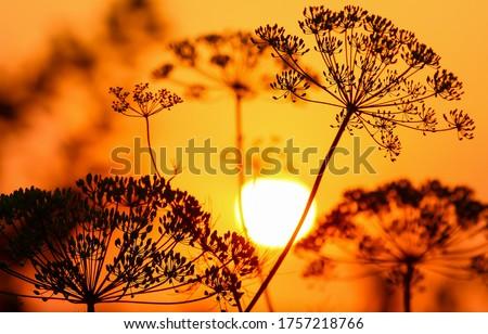 Sunset grass view. Sunset grass silhouette. Grass at sunset scene. Sunset field scene
