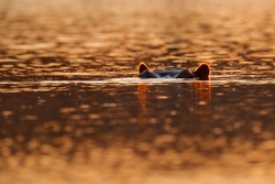 Sunset Hippo, hiden head i sunset light. Big animal in the water, Lake Kariba, Zimbabawe in Africa. Ears with orange back light. Danger mammal in river, wildlife nature.