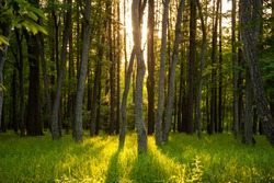 sunset in a thick beautiful green forest in summer.Golden rays of the sun through the tall trunks of trees, the rays on the green grass
