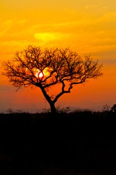 Sunset in African Bushveld with tree silihouette. Golden red light with the sun setting behind the tree. South Africa sunset in Kruger national park. Peaceful, beautiful natural sunset.