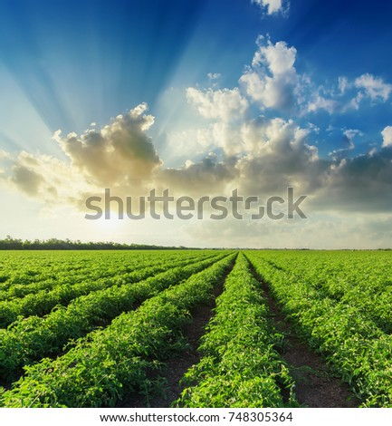 sunset in blue sky with clouds over green agriculture field with tomatoes