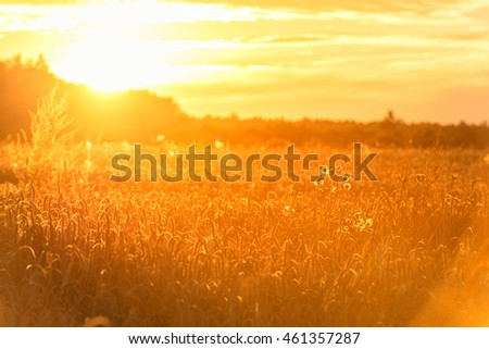 Sunset in Rural Area over the Wheat Field. Late Evening photo Shoot with Shallow Depth Of field.  #461357287