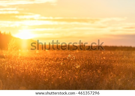 Sunset in Rural Area over the Wheat Field. Late Evening photo Shoot with Shallow Depth Of field.  #461357296