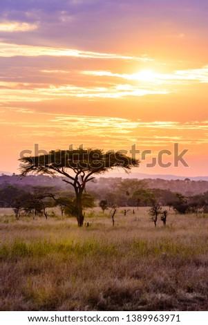 Sunset in savannah of Africa with acacia trees, Safari in Serengeti of Tanzania ストックフォト ©