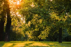 Sunset in the forest in early summer.Forest trees illuminated by Golden sunlight before sunset with sunlight spilled through the trees on the floor of the forest illuminating the branches of the trees