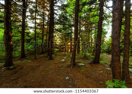 Sunset in the high altitude spruce forest on top of Spruce Knob in West Virginia, sunlight beaming through the trees