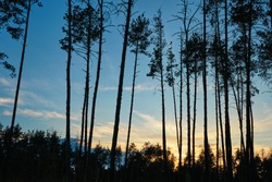 Sunset in the pinetree forest