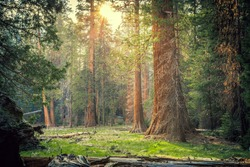 Sunset in the Sequoia Forest, Sequoia National Park, California