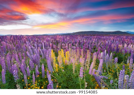Sunset is in the flower field - stock photo