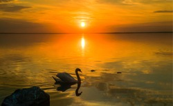 Sunset lake swan silhouette view. Sunset swan lake water. Sunset swan scene. Swan sunset lake water landscape