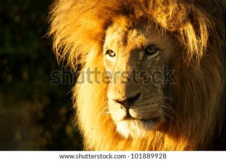 Sunset lion - stock photo