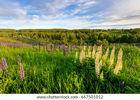 Sunset on a hill covered with lupines in summer season with cloudy sky. Landscape. #667501012