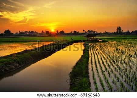 Sunset on green rice farm