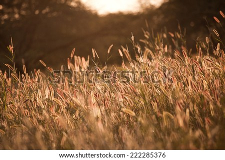 Sunset on reeds