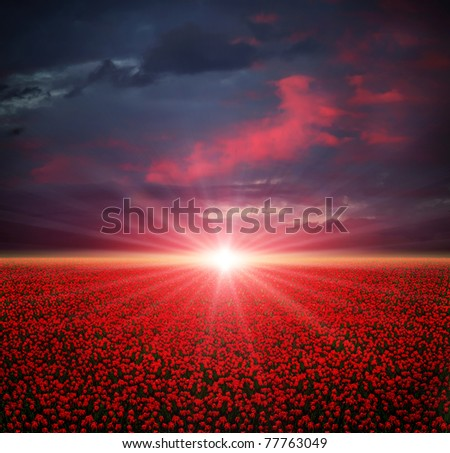 Sunset on the blooming red tulips field