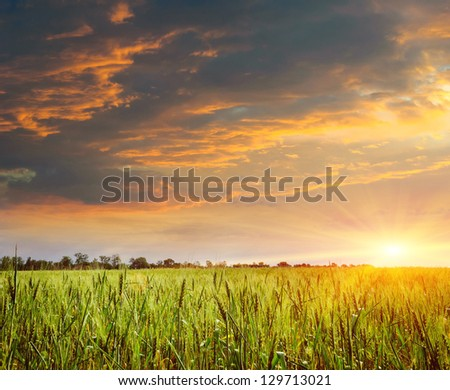 sunset on the field of wheat. Composition of nature #129713021