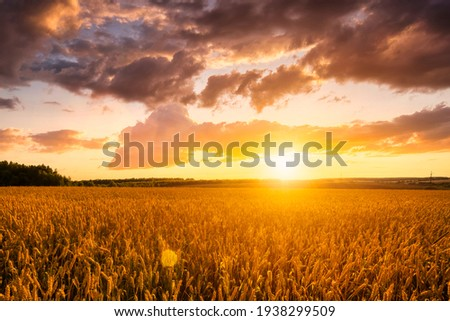 Sunset on the field with young rye or wheat in the summer with a cloudy sky background. Landscape.