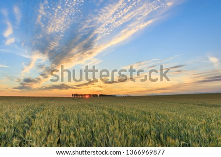 Sunset on the field with young rye or wheat in the summer with a cloudy sky. Landscape. #1366969877