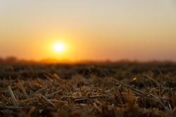 sunset on the mown wheat field. straw of mown wheat. wheat field in the evening.