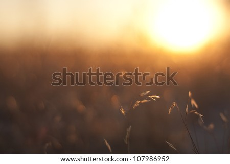 Sunset on the wheat fields
