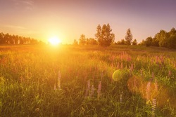 Sunset or dawn on a field with purple lupins, wild carnations and young birches in clear summer weather and a clear cloudless sky. Landscape.