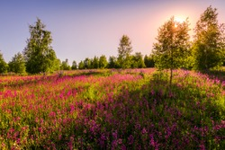 Sunset or dawn on a field with purple wild carnations and young birches in clear summer weather and a clear cloudless sky. Landscape.