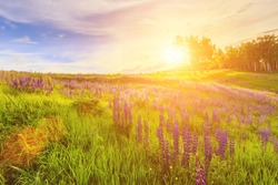 Sunset or sunrise on a hill covered with lupines in summer or early spring season with cloudy sky background. Landscape.