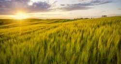 sunset over a field of young wheat, stalks waving in the wind