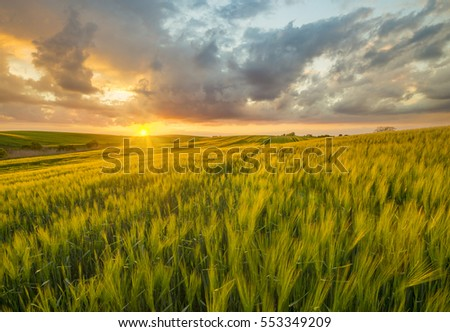 sunset over a field of young wheat, stalks waving in the wind #553349209