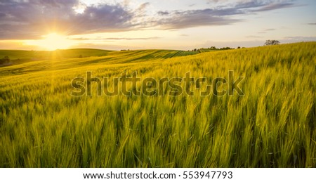 sunset over a field of young wheat, stalks waving in the wind #553947793