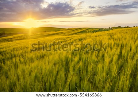 sunset over a field of young wheat, stalks waving in the wind #554165866