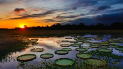 Sunset over a lake filled with water lily, Pantanal Brazil