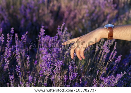 Sunset over a summer lavender field in Provence, France . Perfumer hand touching the flowers of lavanda
