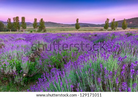 Sunset over a summer lavender field in Tihany, Hungary- This photo make HDR shot
