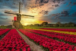 Sunset over a typical Dutch composition of a mill with flowering Tulip in a field against background of setting sun in yellow and orange