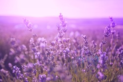Sunset over a violet lavender field in Provence