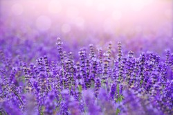 Sunset over a violet lavender field in Provence,Hokkaido