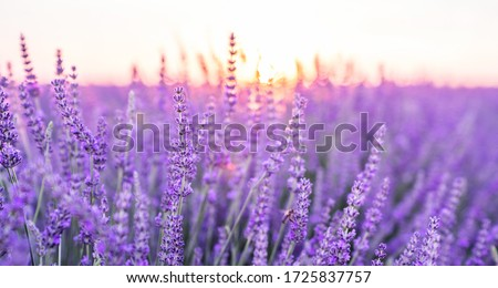 Sunset over a violet lavender field .Valensole lavender fields, Provence, France.