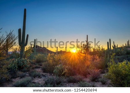 Sunset over cactuses in Saguaro National Park near Tucson, Arizona