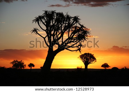 Sunset over Desert landscape with silhouettes of a quiver tree (Aloe dichotoma). South Namibia. Namibia