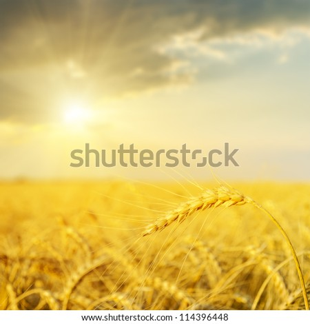 sunset over golden field. soft focus