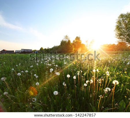 Sunset over meadow with dandelions