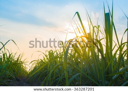 Sunset over sugar cane field #363287201