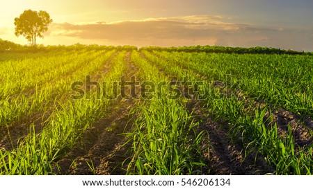 Sunset over sugar cane field