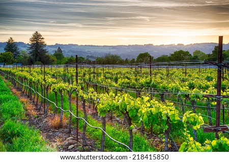 Sunset over vineyards in California's wine country. Sonoma county, California