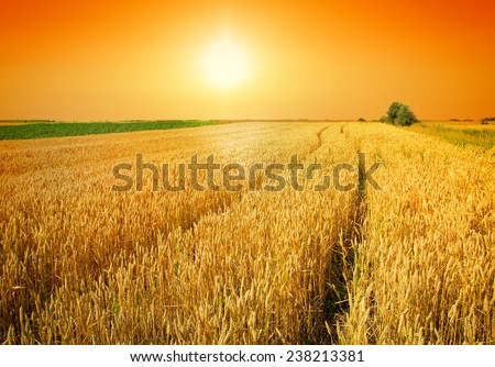 sunset over wheat field #238213381
