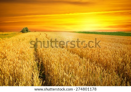 sunset over wheat field #274801178