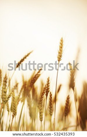 Sunset over wheat field.vintage tone.