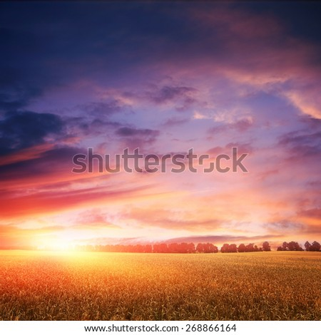 sunset over wheat field with amazing clouds on sky, line of trees on horizon